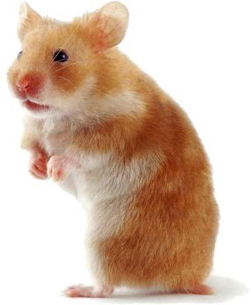 Hamster Wallpapers