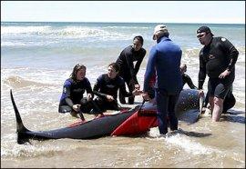 pilot-whale-rescue