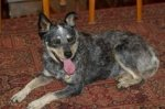 sophie-tucker-cattle-dog