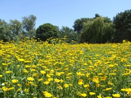 Marigold Meadow