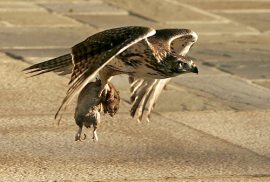 Hawk and Squirrel